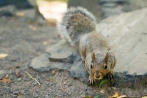 Écureuil dans le parc du mont royal