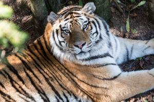 Tigre du Zoo de St Félicien